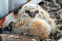 """Baby great-horned owls at """"nest"""" on side of a power plant boiler. Note the adult colors and ears beginning to show and how about that foot and talons."""