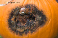 DC09-631z  Black Rot growing on pumpkin caused by the fungus Didymella bryoniae