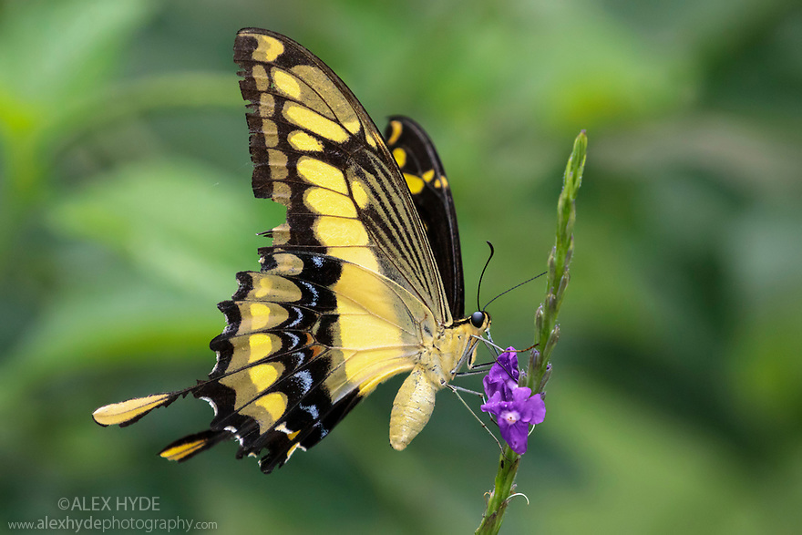 King Swallowtail (Papilio thoas) Manu Biosphere Reserve, Amazonia, Peru. November.
