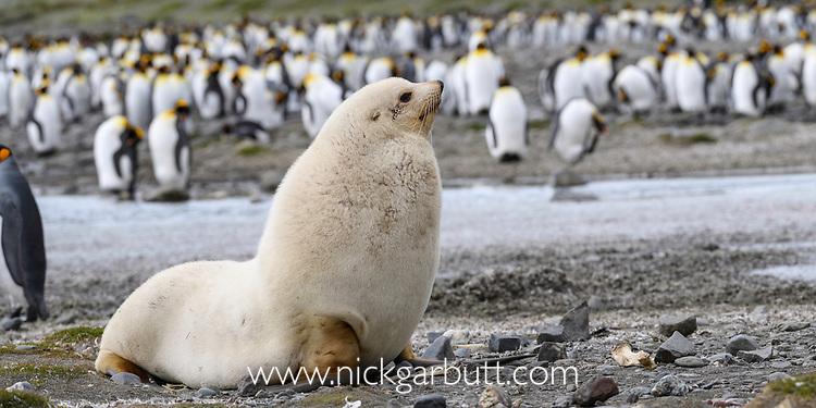 Male Antarctic fur seal (Arctocephalus gazella) - rare pale morph. Salisbury Plain, South Georgia, South Atlantic.