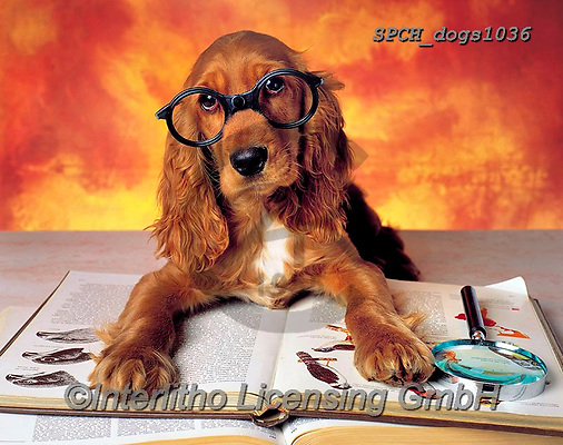 Xavier, ANIMALS, REALISTISCHE TIERE, ANIMALES REALISTICOS, dogs, photos+++++,SPCHDOGS1036,#a#, EVERYDAY