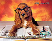 Xavier, ANIMALS, REALISTISCHE TIERE, ANIMALES REALISTICOS, dogs, photos+++++,SPCHDOGS1036,#a#, EVERYDAY