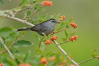 Gray Catbird (Dumetella carolinensis), adult feeding on berries Berlandier's fiddlewood (Citharexylum berlandieri), South Padre Island, Texas, USA