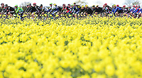 Picture by Alex Broadway/SWpix.com - 30/04/2016 - Cycling - 2016 Tour de Yorkshire: Otley to Doncaster - Yorkshire, England - The peloton makes it way through the Yorkshire countryside.