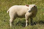 Welsh lamb. Wales.