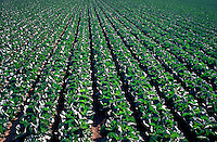 Rows of cabbage in fertile field.