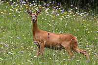 Female deer in a meadow plenty of wild flowers looking to the photographer