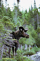 MS01-003z  Moose - bull (male) in Baxter State Park, Maine - Alces alces.