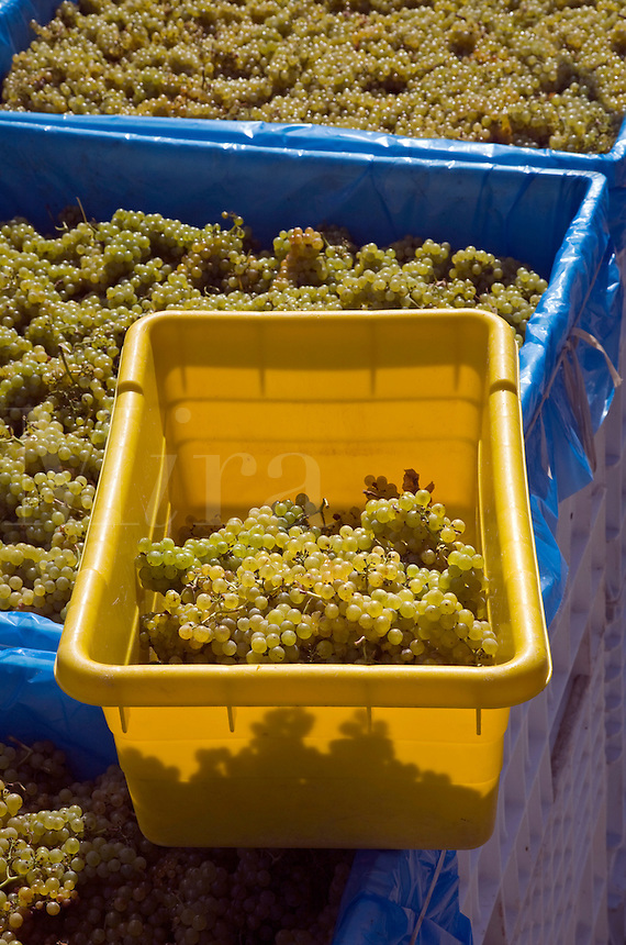 Bins of harvested CHARDONNAY grapes await the wine press at JOULLIAN VINEYARDS - CARMEL VALLEY, CALIFORNIA