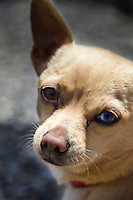 """Frankie's story is one of abuse, multiple abandonments and rescues.  He is now in a stable and loving home, and he is thriving.  His current 'mom' describes him, with a grin, as, """"Part Chihuahua, part Heinz 57"""".   Frankie has one brown eye and one blue, heterochromia, which the National Institute of Health says is common among dogs, and usually hereditary."""