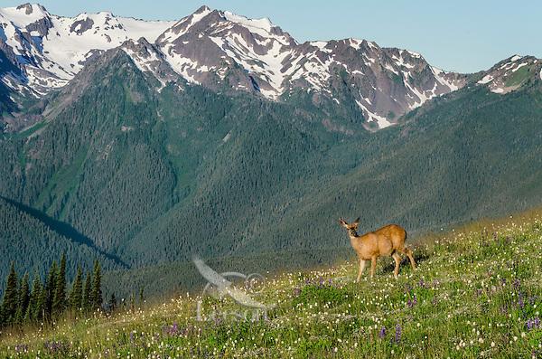 Columbian black-tailed deer (Odocoileus hemionus columbianus) doe in subalpine meadow with Olympic Mountains in background.  Olympic National Park, WA.  Summer.