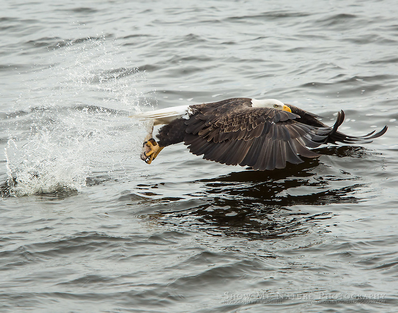 Adult Bald Eagle catching fish