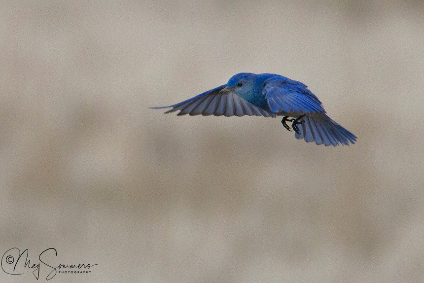 The Mountain Bluebird (Sialia currucoides) can hover over the ground and fly down to catch insects, also flying from a perch to catch them. They mainly eat insects and berries. This male is brilliant blue in his breeding plumage.