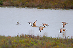 Marbled Godwits in Flight with Willet and Semipalmated Sandpiper, Bolsa Chica Wildlife Refuge, Southern California