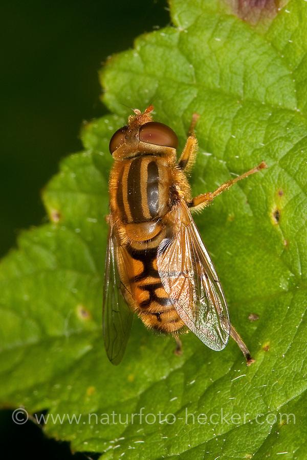 Helle Teichrandschwebfliege, Helle Teichrand-Schwebfliege, Männchen, Parhelophilus cf. frutetorum