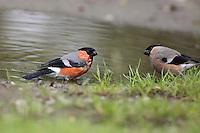 Gimpel, Dompfaff, Pärchen, Männchen und Weibchen badend an einem Wasserloch, Pfütze, Pyrrhula pyrrhula, Eurasian bullfinch