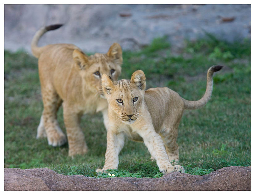 Lions at the Virginia Zoo for the World Wildlife Fund. Photo/Andrew Shurtleff