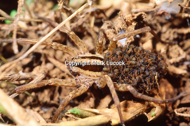 European Tarantula with young on back-Lycosa narbonensis