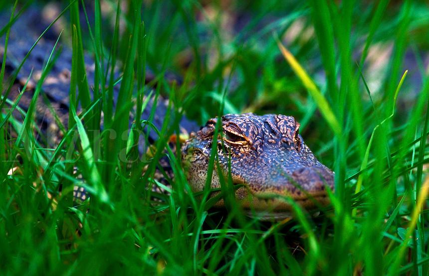 An endangered Black Caiman.  Caiman crocodilus