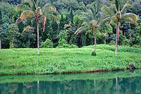 Palm trees. Near Hanalei, Kauai, Hawaii.