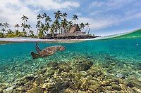 A honu (or green sea turtle) swims in the clear waters off of the Big Island's Pu'uhonua o Honaunau, a national historical park which once served as a place of refuge for Hawaiian warriors, non-combatants and those who broke kapu (sacred law).