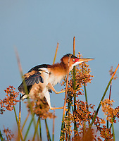 Male Least Bittern in breeding colors clinging to reeds in evening light