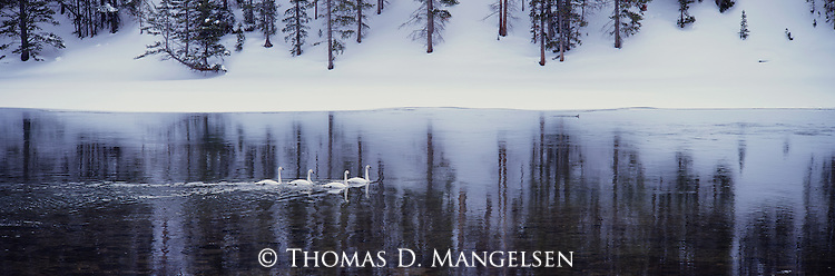 Sailing across open waters, a family of trumpeter swans takes advantage of the ample submergent vegetation that grows year round in the Yellowstone River in Yellowstone National Park, Wyoming.