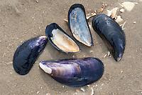 Gemeine Miesmuschel, Pfahlmuschel, Schale, Muschelschale am Strand, Spülsaum, Mytilus edulis, bay mussel, common mussel, common blue mussel
