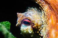 Eye of a common octopus, scientific name Octopus vulgaris, hidding in rocks, off Monaco coast, Mediterranean sea