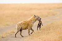 Spotted Hyena (Crocuta crocuta) with young pup, Masai Mara, Kenya, Africa