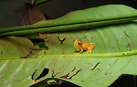 Hourglass Treefrog (Dendropsophus ebraccatus) - Siquirres Costa Rica.