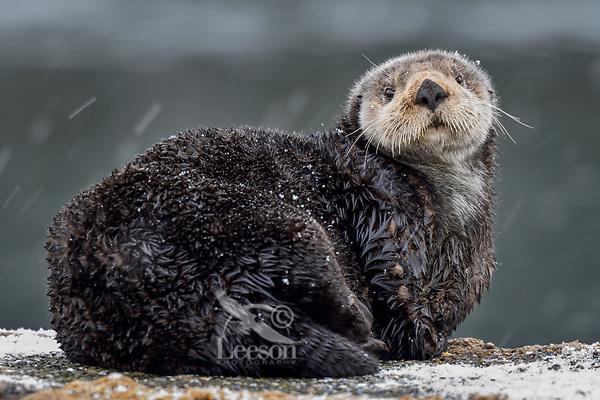 Adult Sea Otter (Enhydra lutris) on old boat dock during light snow,  Prince William Sound, Alaska.