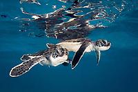 green sea turtle, Chelonia mydas, hatchling, endangered species, Caribbean Sea, Atlantic Ocean (c)