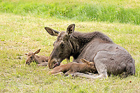 European Moose (Alces alces alces), adult female with two calves, suckling, captive
