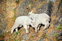 Young Mountain Goat kids playing on steep rock face. Pacific Northwest.  Spring.