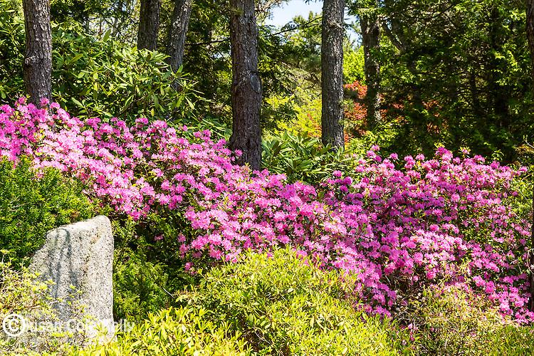 Asticou Azalea Garden in Northeast Harbor, Maine, USA