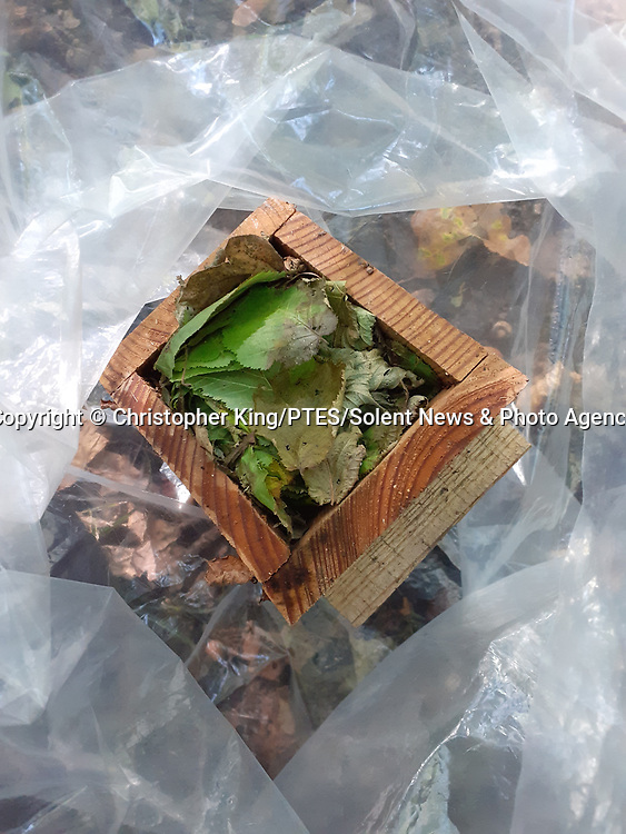 Pictured: A dormouse nest box in a weigh bag<br /> <br /> A small hazel dormouse is weighed in a plastic bag as part of a study into the species' dwindling population.  The mice are preparing for hibernation and are weighed to monitor eating habits and assess whether they have eaten enough to survive the winter.<br /> <br /> This one weighed around 28 grams - eight grams above the average of 20.  The population of dormice in Britain has more than halved in the last 20 years due to climate change and shrinking habitats.  SEE OUR COPY FOR DETAILS<br /> <br /> Please byline: Christopher King/PTES/Solent News<br /> <br /> © Christopher King/PTES/Solent News & Photo Agency<br /> UK +44 (0) 2380 458800
