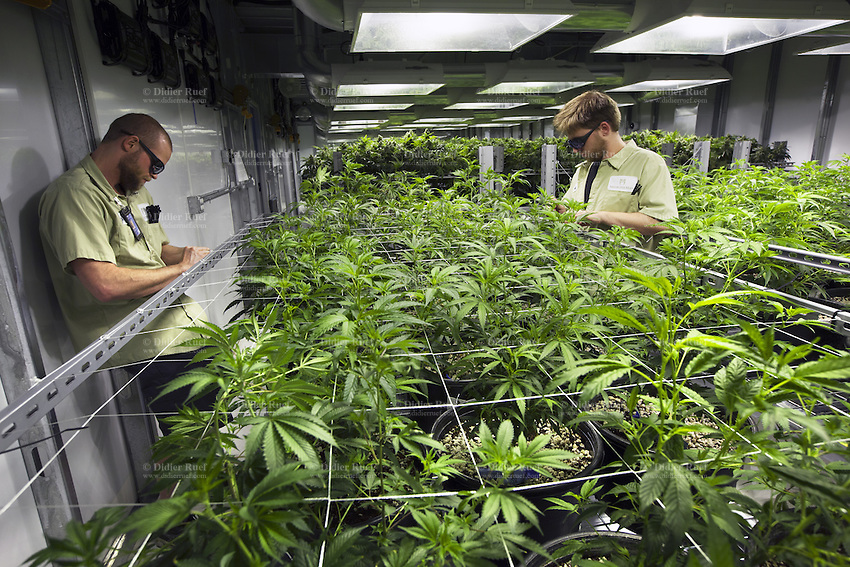 """USA. Colorado state. Denver. Two workers and a forest of plants flowering in one of the marijuana grow rooms at Medicine man. Cannabis buds just look like a knobby tangle of leaves, but the calyx is what actually comprises the female flower. Underneath those tiny leaves (called """"sugar leaves"""") stand tear-shaped nodules which are the calyxes, and they come in many different shapes, sizes, and colors. Calyxes typically contain high concentrations of trichomes, or glands that secrete THC and other cannabinoids. Medicine Man began nearly six years ago as a small medical marijuana operation and has since grown to be the largest single marijuana dispensary, both recreational and medical, in the state of Colorado and has aspirations of becoming a national brand if pot legalization continues its march. Cannabis, commonly known as marijuana, is a preparation of the Cannabis plant intended for use as a psychoactive drug and as medicine. Pharmacologically, the principal psychoactive constituent of cannabis is tetrahydrocannabinol (THC); it is one of 483 known compounds in the plant, including at least 84 other cannabinoids, such as cannabidiol (CBD), cannabinol (CBN), tetrahydrocannabivarin (THCV), and cannabigerol (CBG). 18.12.2014 © 2014 Didier Ruef"""