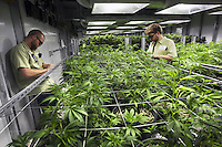 "USA. Colorado state. Denver. Two workers and a forest of plants flowering in one of the marijuana grow rooms at Medicine man. Cannabis buds just look like a knobby tangle of leaves, but the calyx is what actually comprises the female flower. Underneath those tiny leaves (called ""sugar leaves"") stand tear-shaped nodules which are the calyxes, and they come in many different shapes, sizes, and colors. Calyxes typically contain high concentrations of trichomes, or glands that secrete THC and other cannabinoids. Medicine Man began nearly six years ago as a small medical marijuana operation and has since grown to be the largest single marijuana dispensary, both recreational and medical, in the state of Colorado and has aspirations of becoming a national brand if pot legalization continues its march. Cannabis, commonly known as marijuana, is a preparation of the Cannabis plant intended for use as a psychoactive drug and as medicine. Pharmacologically, the principal psychoactive constituent of cannabis is tetrahydrocannabinol (THC); it is one of 483 known compounds in the plant, including at least 84 other cannabinoids, such as cannabidiol (CBD), cannabinol (CBN), tetrahydrocannabivarin (THCV), and cannabigerol (CBG). 18.12.2014 © 2014 Didier Ruef"