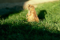 Ground hog, Marota Monax, chewing a sprig of grass and enjoying the late afternoon sun