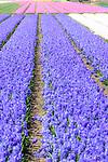 Spring flower displays dominated by hyacinths. Keukenhof Flower Gardens, Lisse, near Amsterdam, The Netherlands.