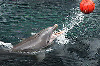 Bottlenose dolphin (Tursiops truncatus) playing with ball, Hawaii, USA (North Pacific Ocean)