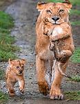 Kenya, Olare Motorogi Conservancy, African lion and cubs (Panthera leo)