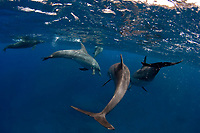 Wild dolphins greet snorkelers and divers near ChiChi Jima in the Bonin Islands. The islands are famous for pods of bottlenose and spinner dolphins (Stinella longirostris) near ChiChi Jima and Muko Jima in southeastern Japanese waters.