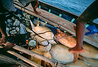 endangered green sea turtle, Chelonia mydas, captured by Miskito Indian fisherman, Puerto Cabezas, Nicaragua, Central America