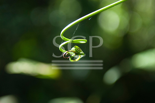 Aldeia Baú, Para State, Brazil. A young tendril shoot catches the sun.