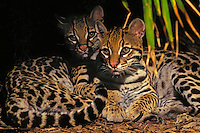 OCELOTS. Southwestern USA & south.through much of South America..(Felis pardalis).