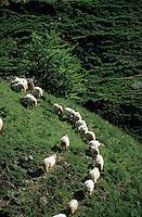 Europe/France/Aquitaine/64/Pyrénées-Atlantiques/Plateau d'Iraty: Troupeau de brebis à tête noire