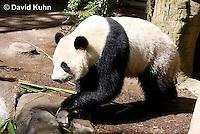 0502-1004  Male Giant Panda at San Diego Zoo, Ailuropoda melanoleuca  © David Kuhn/Dwight Kuhn Photography.