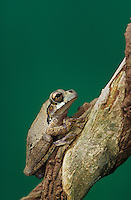 Mexican Treefrog, Smilisca baudinii, adult on Tree Bark, The Inn at Chachalaca Bend, Cameron County, Rio Grande Valley, Texas, USA, May 2004